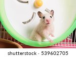 Stock photo syrian hamster is staring at camera and right foot hold on the running wheel 539602705