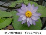 beautiful  lotus flower on...   Shutterstock . vector #539674981