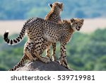 Cheetahs On A Termite Hill In...