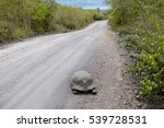 Giant Tortoise On The Road To...