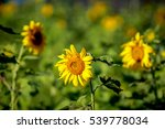 sunflower | Shutterstock . vector #539778034