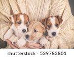 Three Jack Russell Terrier...