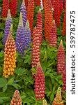 flowering lupins 'inspiration'... | Shutterstock . vector #539787475