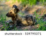 African Wild Dog Pup Resting ...