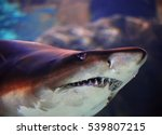 beautiful brown shark close up... | Shutterstock . vector #539807215
