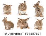 Stock photo brown short hair adorable baby rabbit on white background 539857834