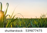 sunset over sugar cane field | Shutterstock . vector #539877475