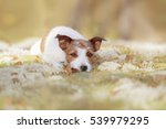 Jack Russell Terrier In The...