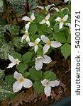Small photo of Flowering Trillium grandiflorum in a cottage garden