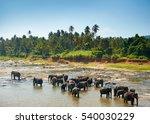 Elephants Bathing. Sri Lankan...