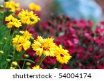 Beautiful Coreopsis (Tickseed) against red dianthus. Selective focus on large coreopsis flower. - stock photo