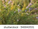Rosemary Blue Flowers...