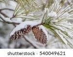 Pine Cones In The Snow.