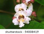Blossoms Of The Catalpa Tree....
