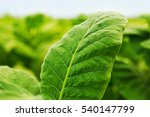 Green Leaf Tobacco In A Blurre...