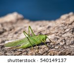 Green Grasshopper Over A Rock...