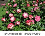 Stock photo rose cherry parfait jubile du prince de monaco 540149299