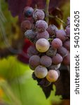 Small photo of cluster of grapes left on the vine in autumn showing signs of fermenting and decomposition