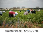 unidentifable workers pick green beans in a field - stock photo
