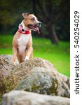 Small photo of American Pit Bull Terrier sits on a stone