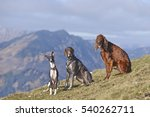 Three Dogs In Nature Mountains