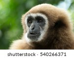 gibbon close  up face in zoo | Shutterstock . vector #540266371