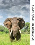 Small photo of Lone adult male bull African elephant (Loxodonta africana) on the Tanzanian savannah looks directly at the camera. Copy space.