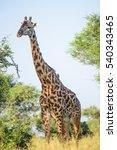 Small photo of Adult male Masai giraffe (Giraffa tippleskirchi) with bald ossicones on the Tanzanian savannah. Vertical/portrait format. Copy space.