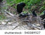 beautiful east great cormorants ... | Shutterstock . vector #540389527