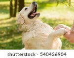 Stock photo lovely friend of a human looks at his master with opened mouth golden retriever gives a paw to the 540426904