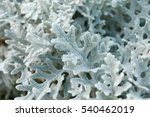 cineraria maritima  senecio... | Shutterstock . vector #540462019