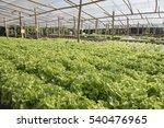 hydroponic vegetable | Shutterstock . vector #540476965