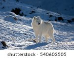 Arctic Wolf In The Winter Snow
