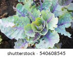 Small photo of Kale brassica oleracea L. var. acephala DC green and purple decorative plant