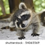Stock photo silly raccoon 54065569