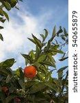 organic mandarin on the tree | Shutterstock . vector #540655879
