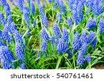 Blue Spring Flowers Grape...