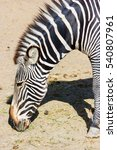 Small photo of The plains zebra is the most common, and has or had about six subspecies distributed across much of southern and eastern Africa. Each animal stripes are unique as fingerprints, none are exactly alike