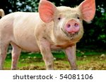 Cute young pig living outdoor - stock photo