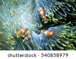 Three Clownfish In Their Anemone