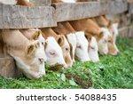 A Line Of Farm Calves Eating...