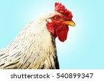 rooster on a blue background....