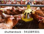 farm chicken in a barn  eating... | Shutterstock . vector #541089301