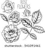 rose flowers drawing vector... | Shutterstock .eps vector #541091461