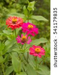 Small photo of Pink zinnia close up, ammi visnaga, khella blooms