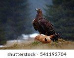 Golden eagle  feeding on killed ...