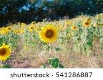 sunflower | Shutterstock . vector #541286887