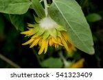 Closeup Of A Sunflower From A...