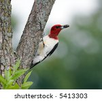 A Red Headed Woodpecker With...