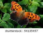Question Mark  Polygonia...